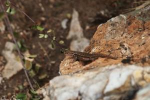 Sagebush lizard, gissar jag på (Sceloporus graciosus).