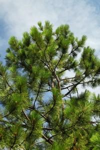 Gultall (ponderosa pine, Pinus ponderosa). Så fluffig!