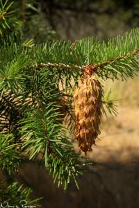 Douglasgrankotte (Douglas fir, Pseudotsuga menziesii). De där täckfjällen är ju så himla coola.