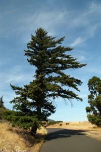 Douglasgran (Douglas fir, Pseudotsuga menziesii).