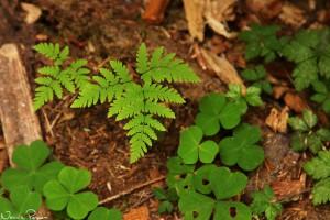 Ekbräken (oak fern, <em>Gymnocarpium dryopteris</em>) och harsyra (Oregon oxalis, Oxalis oregana).