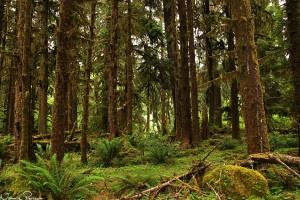 De vanligaste, och största, ormbunkarna var en träjonsläkting (sword fern, Polystichum munitum).