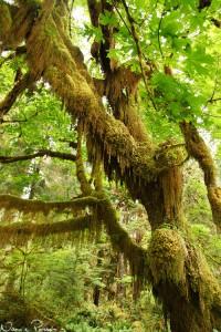 Jättelönn (big-leaf maple, Acer macrophyllum).