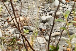 Mörkögd junco (dark-eyed junco, Junco hyemalis).