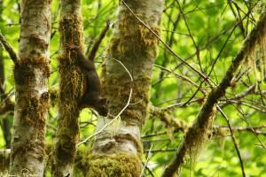 En väldigt högljudd douglasekorre (Douglas squirrel, Tamiasciurus douglasii).