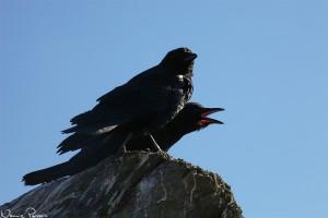 Amerikanska kråkor (American crow, Corvus brachyrhynchos).