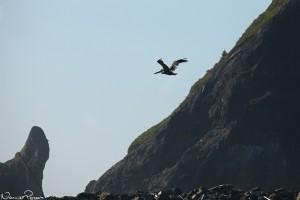 Brun pelikan (brown pelican, Pelecanus occidentalis).