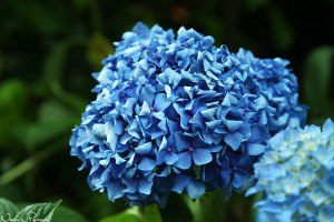 Hortensia (Hydrangea, Hydrangea sp.).