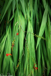 Höstlilja (montbretia, Crocosmia sp.).
