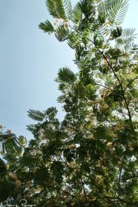 Ett ärtträd (Persian silk tree, Albizia julibrissin).