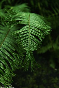 En träjonvariant (Grandicapital Crested Male fern, Dryopteris filix-mas 'Grandiceps Wills').