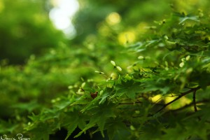 Japansk lönn har de sötaste små näsorna (Japanese maple, Acer palmatum).