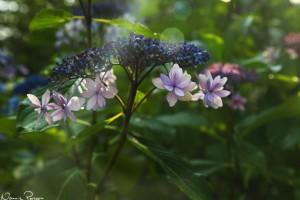 Snyggaste hortensian (Mountain Hydrangea Shirotae, Hydrangea serrata 'Shirotae').