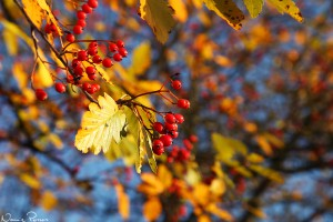 Oxel (Sorbus intermedia).