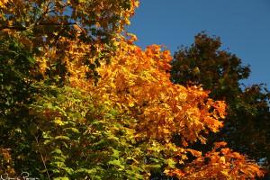 Lönnar (Acer platanoides) i olika färger.
