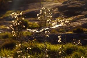 Flockfibblor (Hieracium umbellatum).
