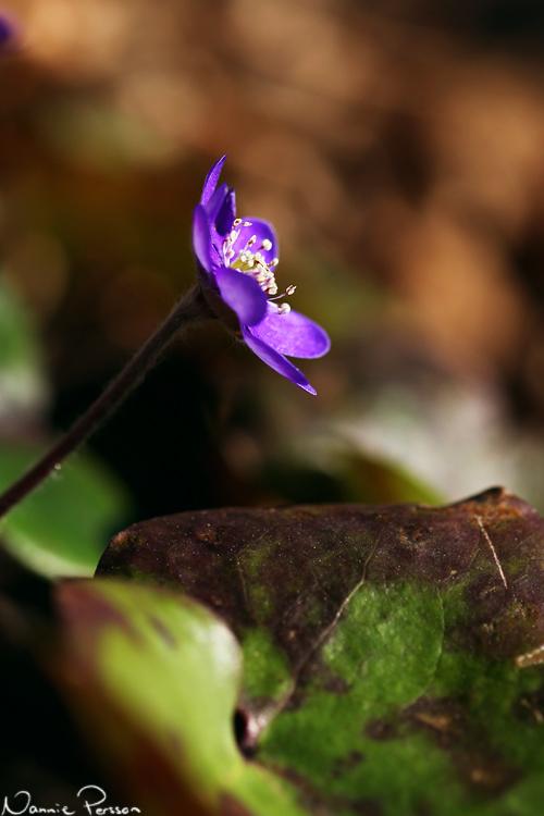 Blåsippa (Hepaticanobilis).