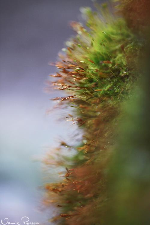 Fyrtandsmossa (Tetraphis pellucida).