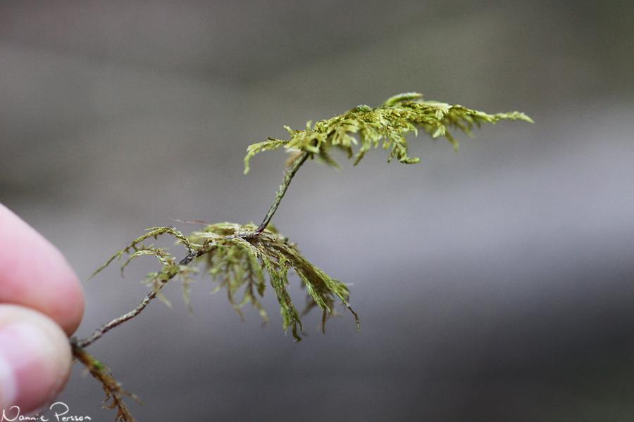 Husmossa (Hylocomium splndens).
