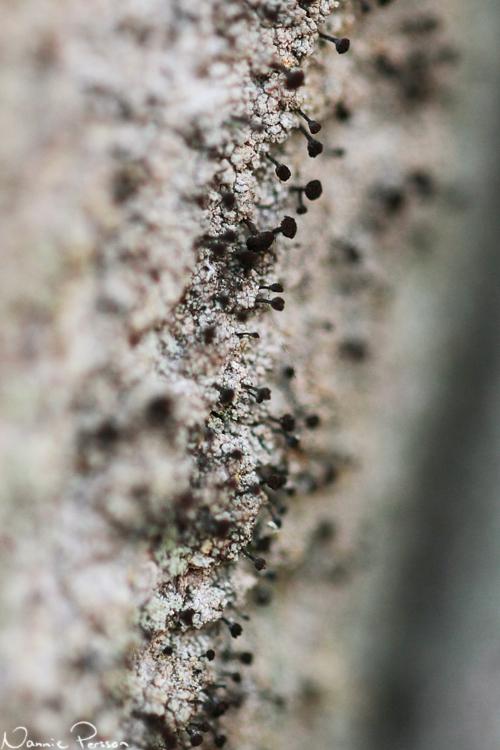 Spiklav (Calicium sp.).