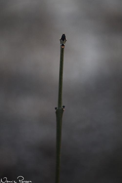 Aska Svart (ask, Fraxinus excelsior).