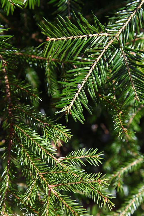Gran (Pinus abies) och ädelgran (Abies sp.).