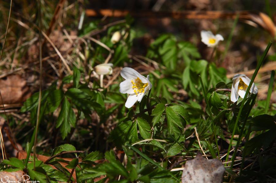 De första blommande vitsipporna (Anemone nemorosa) jag ser i år!