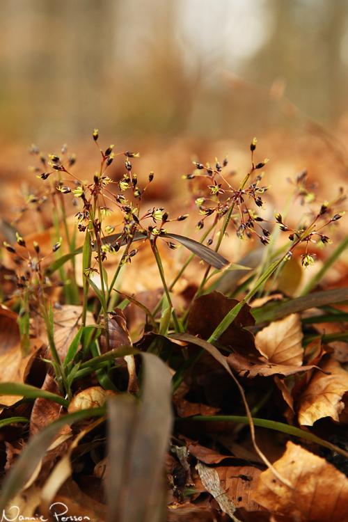 Vårfryle (Luzula pilosa).
