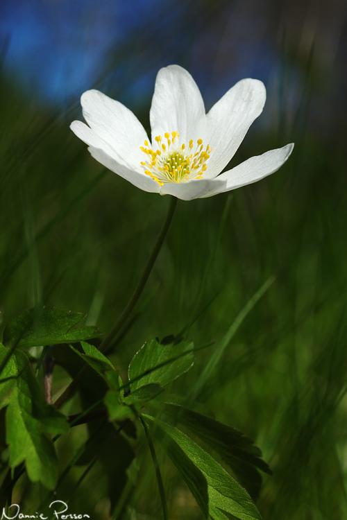 Vitsippa (Anemone nemorosa).
