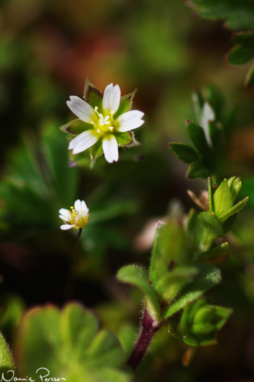 Vårarv (Cerastium semidecandrum).