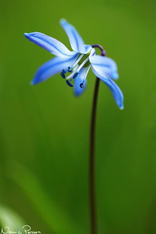 Rysk blåstjärna (Scilla sibirica).