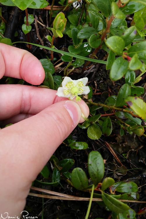 Ögonpyrola (Moneses uniflora), årets växt.