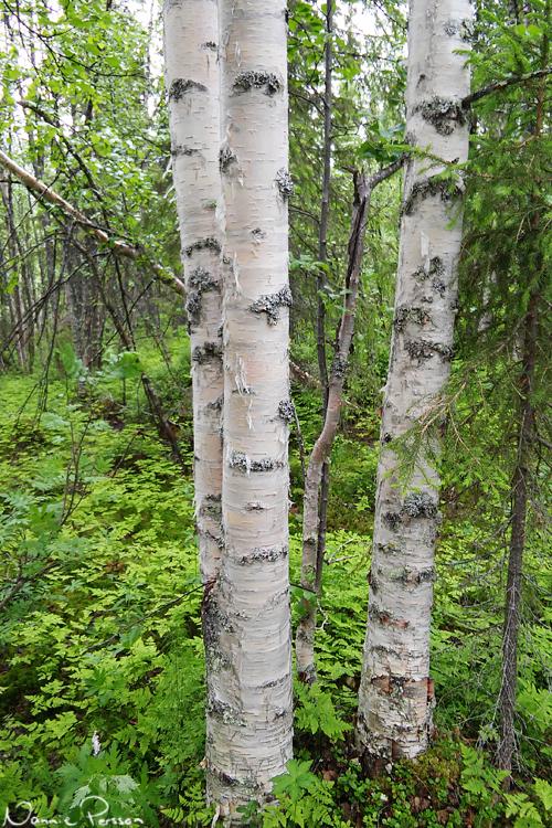De vackra stammarna på glasbjörk (Betula pubescens).