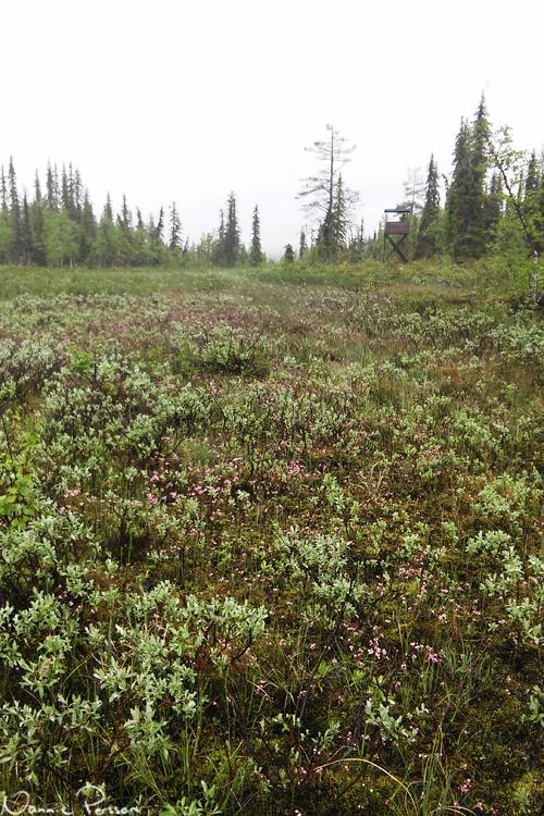 Lappvide (Salix lapponum) och rosling (Andromeda polifolia) i massor.