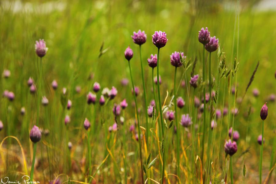 Gräslök (Allium schoenoprasum).