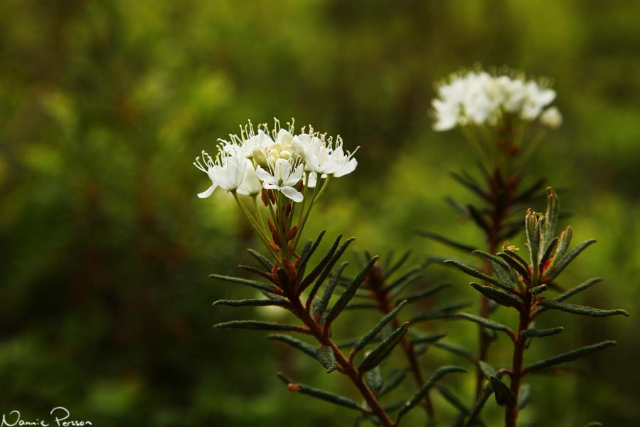 Skvattram (Rhododendron tomentosum).