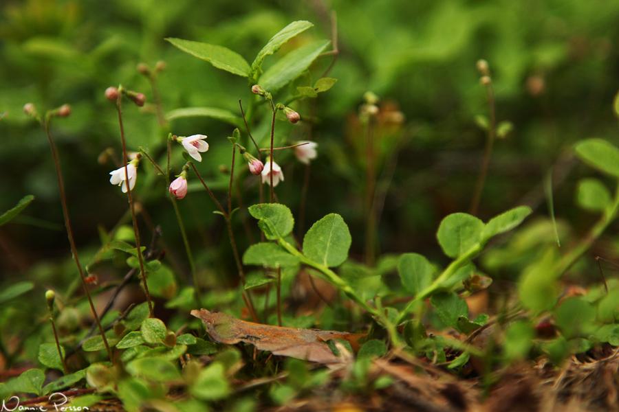 Linnea (Linnaea borealis).