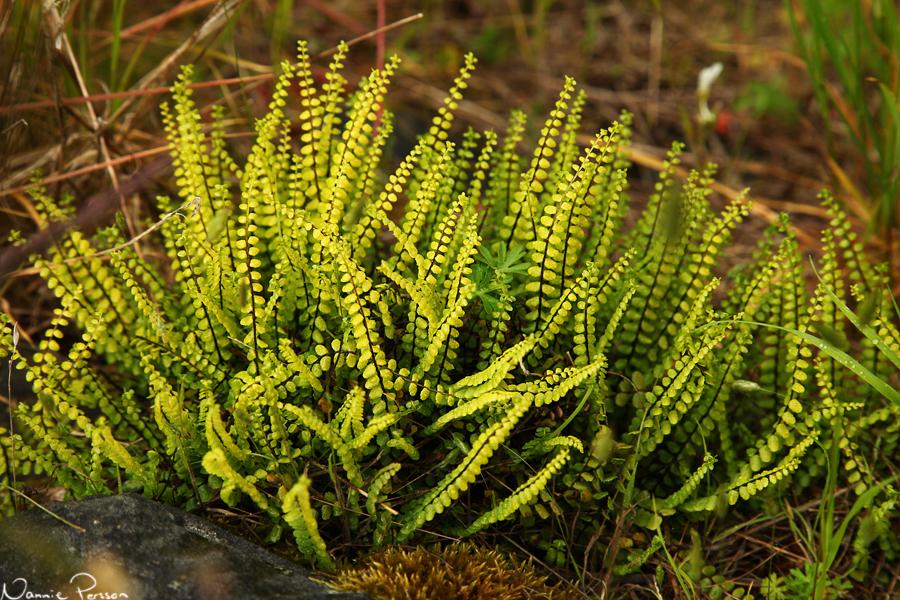 Svartbräken (Asplenium septentrionale).