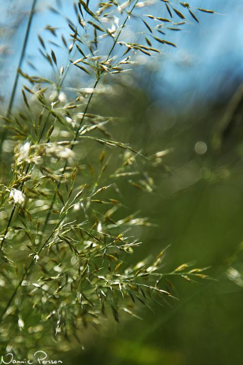 Gullhavre (Trisetum flavescens).
