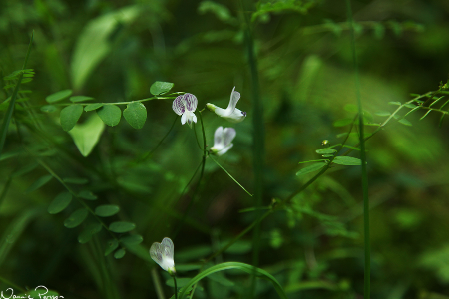Skogsvicker (Vicia sylvatica).