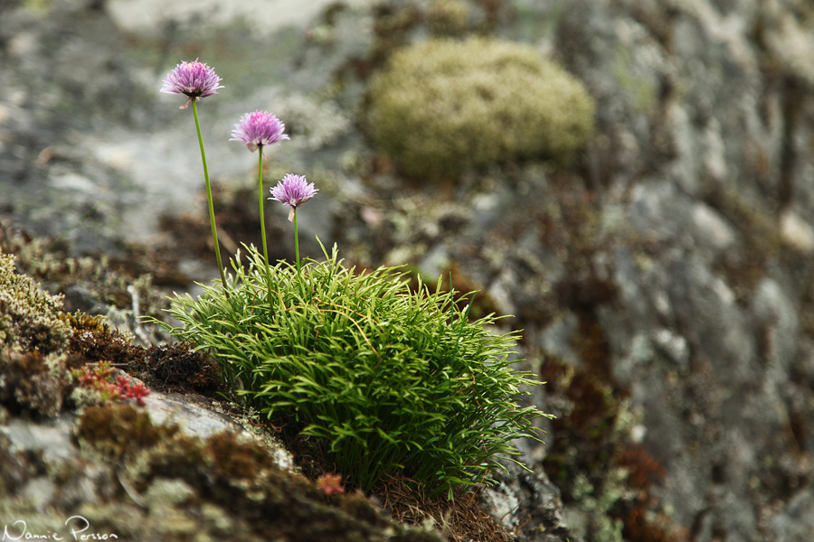 Gräslök (Allium schoenoprasum) och gaffelbräken (Asplenium septentrionale).