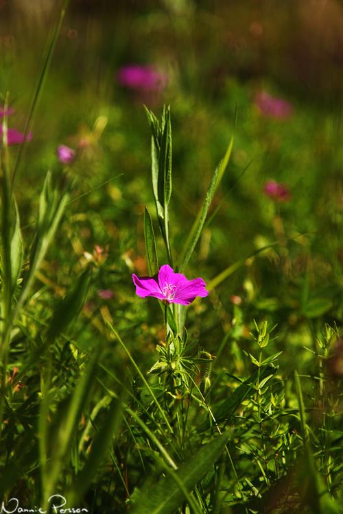 Blodnäva (Geranium sanguineum).
