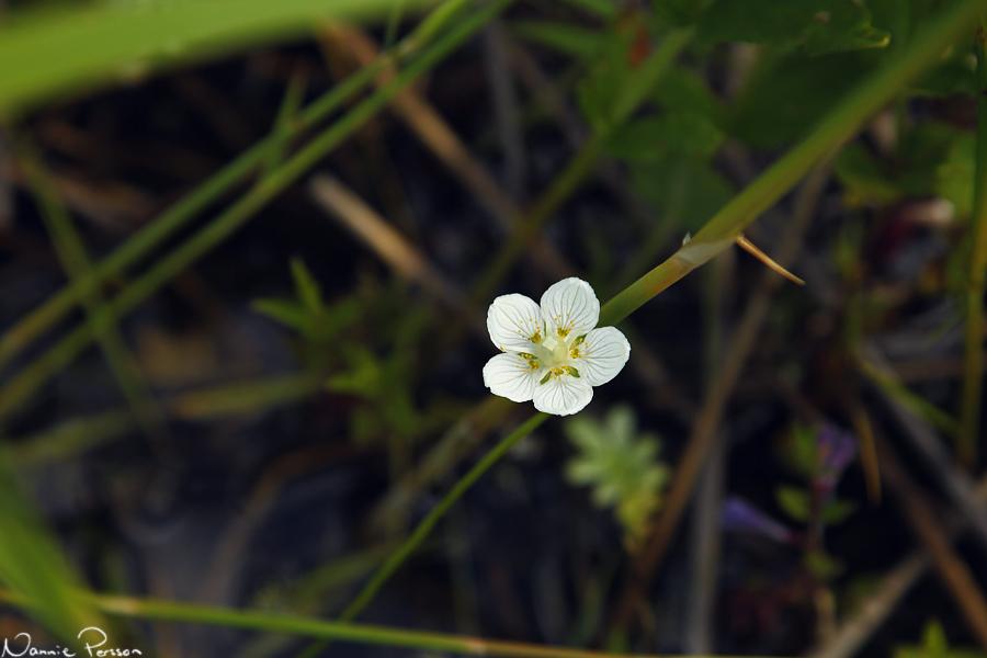 Slåtterblomma (Parnassia palustris).