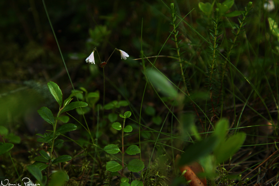 Linnéa (Linnaea borealis).