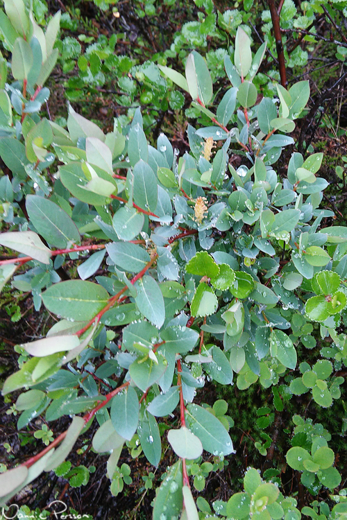 Odonvide (Salix myrtillus).