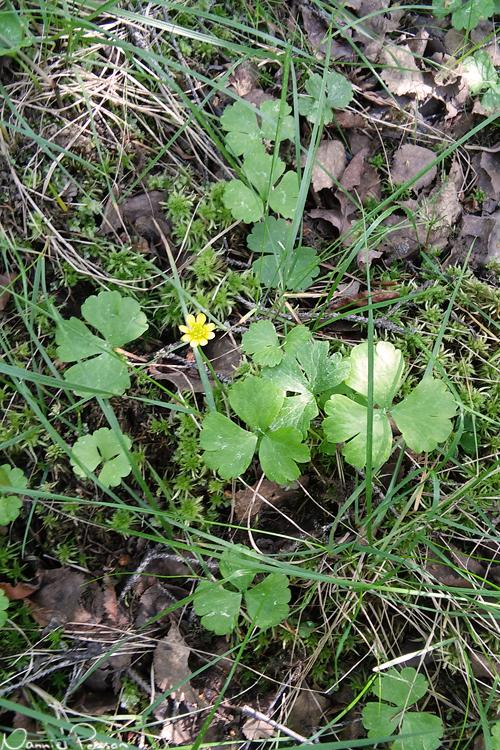 Lappranunkel (Ranunculus lapponicus).