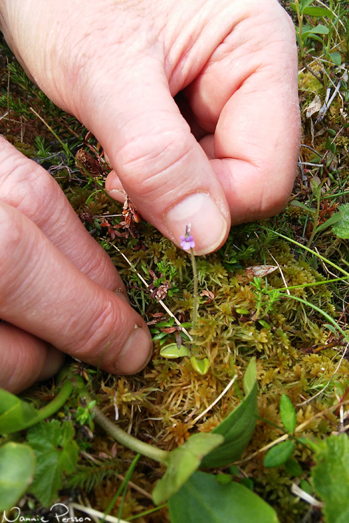 Dvärgtätört (Pinguicula villosa).