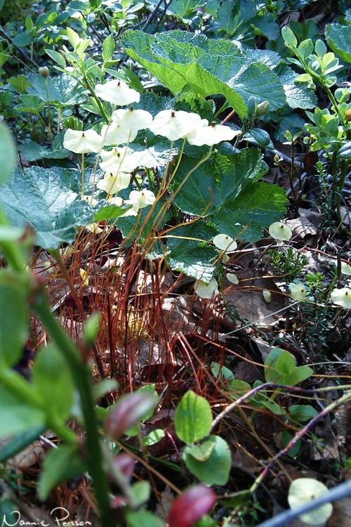 Gul parasollmossa (Splachnum luteum).