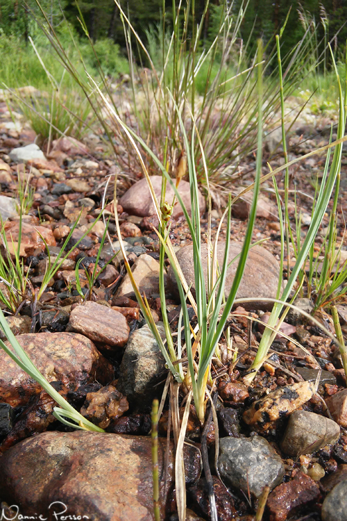 Vitstarr (Carex livida).