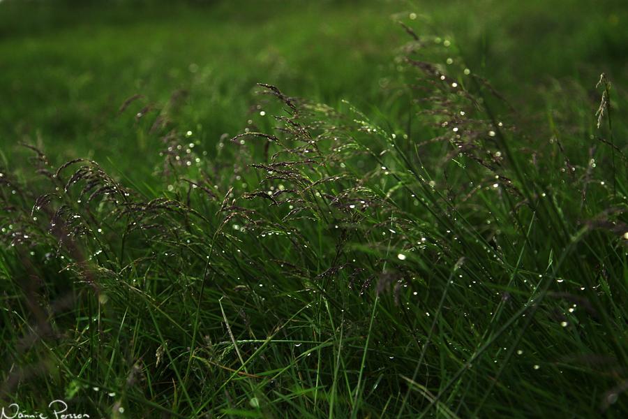 Tuvtåtel (Deschampsia cespitosa).